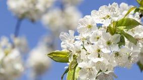 Blühende Kirsche im Frühjahr Stockfotos