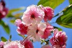Blühende Kirschniederlassung, Kirschblüte Stockbilder