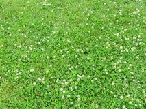 Blühende Kleeanlage auf dem Gebiet, Litauen Lizenzfreie Stockfotografie