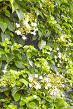 Blühende kletternde Hortensie Lizenzfreies Stockfoto