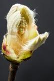 Blühende Knospe der Kastanie lokalisiert auf schwarzem Hintergrund Lizenzfreies Stockfoto
