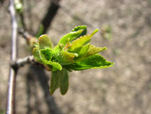Blühende Knospe, Frühling Lizenzfreies Stockfoto