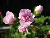 Blühende Knospen der Efeublatt hellrosa Pelargonie Chiffon- Lizenzfreies Stockfoto