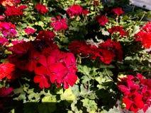 Blühende Knospen der roten Pelargonien Lizenzfreie Stockbilder
