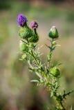 Blühende Knospen der Stammdistel Stockbild