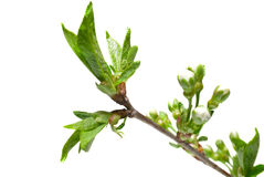Blühende Knospen und Blätter der Flieder auf Weiß. Stockbilder