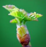 Blühende Knospen und grüne Blätter auf Frühling Stockbilder