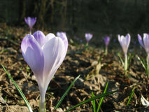 Blühende Krokusse oder sonnenbeschiene Blumen des Safrans auf sonniger Lichtung Stockfotos