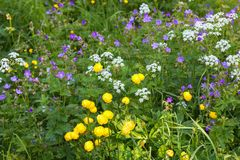 Blühende Kugelblumen Lizenzfreies Stockbild