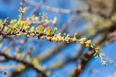 Blühende Lärche des Zweigs Stockbilder