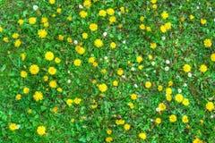 Blühende Löwenzahnblumen und grünes Gras Stockbild