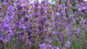 Blühende Lavendelblumen stock footage