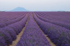 Blühende Lavendelfelder in Provance Lizenzfreie Stockbilder