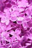Blühende lila Blumen Lizenzfreies Stockbild