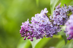 garten blumen lila, blühende lila blumen im garten, frühlingszeit stockbild - bild von, Design ideen