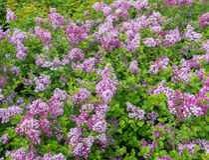 Blühende lila Hecke stockfotografie