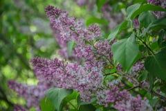 Blühende lila Landhaus Blumen für Garten stockbild
