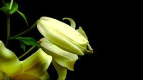 Blühende Lilie stock footage