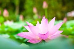 Blühende Lotosblume Stockfotos