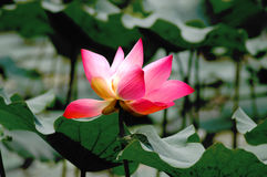 Blühende Lotosblume der Natur Stockfotos