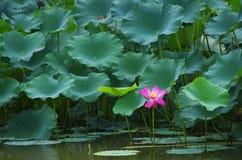 blühende Lotosblume in einem Pool Stockfoto