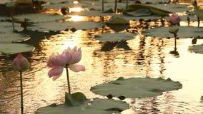 Blühende Lotosblume im Teich stock video