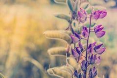 Blühende Lupineblume Sonnenlichtglanz auf Anlagen Violette Frühlings- und Sommerblumen Stockfotos