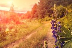 Blühende Lupineblume Sonnenlichtglanz auf Anlagen Violette Frühlings- und Sommerblumen Lizenzfreies Stockbild