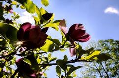 Blühende Magnolie lizenzfreies stockbild