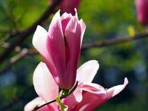 Blühende Magnolie 'königliche Krone' Stockfotos