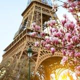 Blühende Magnolie vor dem hintergrund des Eiffelturms Stockfotos