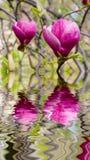 Blühende Magnolie am Wasser Lizenzfreies Stockfoto