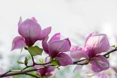 Blühende Magnolienblumen Stockfotografie