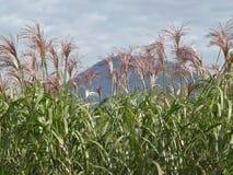 Blühende Maisanlagen, Österreich Stockfoto