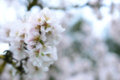 Blühende Mandel Stockbilder