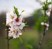 Blühende Mandel im Garten Valencia europa spanien Lizenzfreies Stockbild