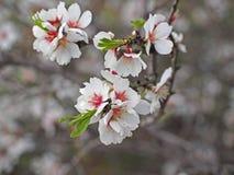 Blühende Mandel im Garten Valencia europa spanien Stockbilder