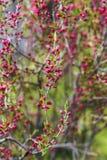 Blühende Mandel stellen im Garten, Frühlingszeit in den Schatten Lizenzfreie Stockfotos