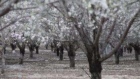 Blühende Mandelbäume zur Frühlingszeit stock video
