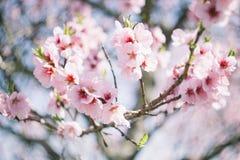 Blühende Mandeln Stockbild