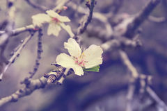 Blühende Mandeln Stockfotografie