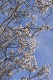 Blühende Mandeln gegen den Himmel Lizenzfreie Stockbilder