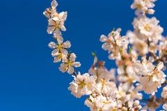 Blühende Mandelzweige gegen den blauen Himmel Kopieren Sie Raum für Text Lizenzfreies Stockfoto