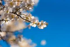 Blühende Mandelzweige gegen den blauen Himmel Unscharfer Hintergrund Kopieren Sie Raum für Text Stockfotografie