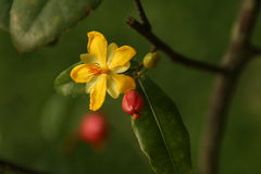 Blühende Meihwa-Blume Stockfotos