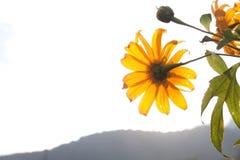 Blühende mexikanische Sonnenblume Lizenzfreie Stockbilder
