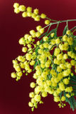 Blühende Mimose Stockbild