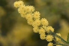 Blühende Mimose des Baums lizenzfreies stockfoto