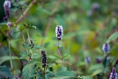 Blühende Minze im Garten Stockfotos