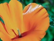Blühende Mohnblume stockbild